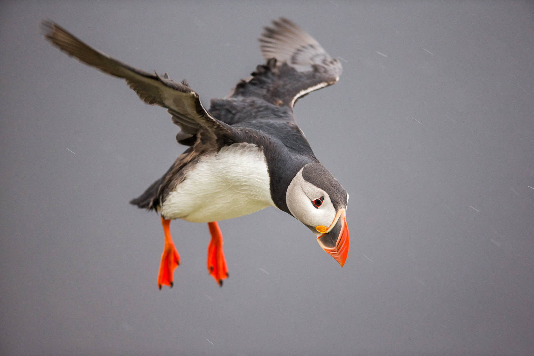 ultimate-puffins-2016.jpg